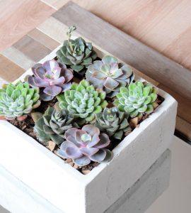Livraison de fleurs - Composition végétale Echeveria 2