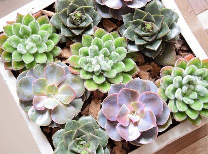 Livraison de fleurs - Composition végétale Echeveria